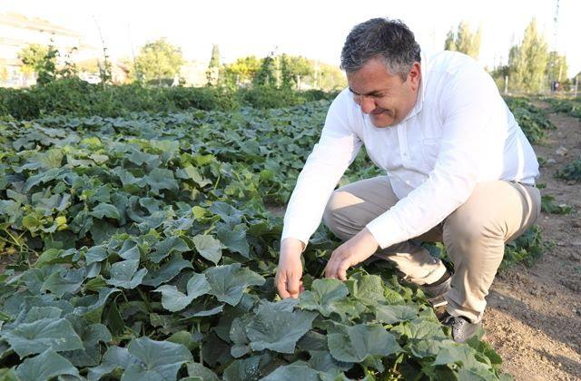 Çubuk turşusu için salatalık hasadı başladı